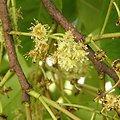 Pygeum africanum BIO - plante en vrac - herboristerie du Dr. SAMMUT