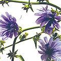 Chicory - Fleurs de Bach - 20ml