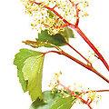 Vine - Fleurs de Bach - 20ml