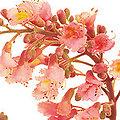 Red chestnut - Fleurs de Bach - 20ml
