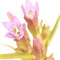 Gentian - Fleurs de Bach - 20ml