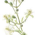 Clematis - Fleurs de Bach - 20ml