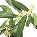 Olive - Fleurs de Bach - 20ml