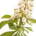 White chestnut - Fleurs de Bach - 20ml
