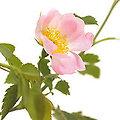 Wild rose - Fleurs de Bach - 20ml