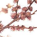Elm - Fleurs de Bach - 20ml