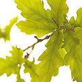 Oak - Fleurs de Bach - 20ml