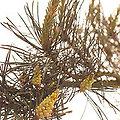 Pine - Fleurs de Bach - 20ml