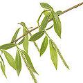 Willow - Fleurs de Bach - 20ml