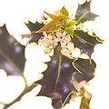 Holly - Fleurs de Bach - 20ml