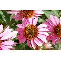 Echinacée BIO - plante en vrac - herboristerie du Dr. SAMMUT