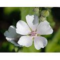 Guimauve officinale feuille BIO - plante en vrac - herboristerie du Dr. SAMMUT