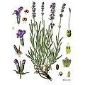 Lavande fleur BIO - plante en vrac - herboristerie du Dr. SAMMUT