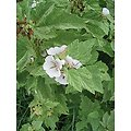 Guimauve officinale racine BIO - plante en vrac - herboristerie du Dr. SAMMUT