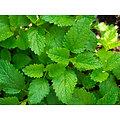 Mélisse feuille coupée BIO - plante en vrac - herboristerie du Dr. SAMMUT