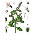 Menthe poivrée feuille coupée BIO - plante en vrac - herboristerie du Dr. SAMMUT