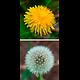 Pissenlit feuille BIO - plante en vrac - herboristerie du Dr. SAMMUT