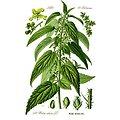 Ortie piquante racine BIO - plante en vrac - herboristerie du Dr. SAMMUT