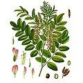 Réglisse racine coupée BIO - plante en vrac - herboristerie du Dr. SAMMUT