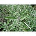 Sauge coupée BIO - plante en vrac - herboristerie du Dr. SAMMUT