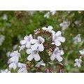 Thym BIO - plante en vrac - herboristerie du Dr. SAMMUT