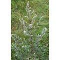 Armoise commune BIO - plante en vrac - herboristerie du Dr. SAMMUT