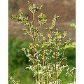 Reine des Prés BIO - plante en vrac - herboristerie du Dr. SAMMUT