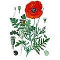 Coquelicot BIO - plante en vrac - herboristerie du Dr. SAMMUT