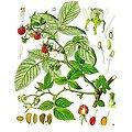 Framboisier BIO - plante en vrac - herboristerie du Dr. SAMMUT