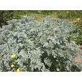 Absinthe BIO - plante en vrac - herboristerie du Dr. SAMMUT