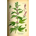 Agripaume BIO - plante en vrac - herboristerie du Dr. SAMMUT