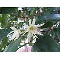 Badiane de Chine ou Anis étoilé BIO - plante en vrac - herboristerie du Dr. SAMMUT