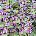 Ballote noire ou Marrube BIO - plante en vrac - herboristerie du Dr. SAMMUT