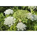 Berce ou Grande Berce - plante en vrac - herboristerie du Dr. SAMMUT (copy)