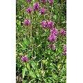 Bétoine ou Epiaire - plante en vrac - herboristerie du Dr. SAMMUT