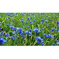 Bleuet bleu BIO - plante en vrac - herboristerie du Dr. SAMMUT
