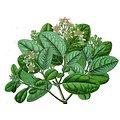 Boldo BIO - plante en vrac - herboristerie du Dr. SAMMUT