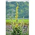 Bouillon blanc BIO - plante en vrac - herboristerie du Dr. SAMMUT