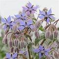Bourrache BIO - plante en vrac - herboristerie du Dr. SAMMUT