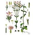 Centaurée petite BIO - plante en vrac - herboristerie du Dr. SAMMUT