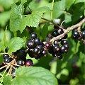 Cassis fruits BIO - plante en vrac - herboristerie du Dr. SAMMUT