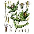 Chardon bénit BIO - plante en vrac - herboristerie du Dr. SAMMUT