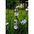 Chicorée BIO - plante en vrac - herboristerie du Dr. SAMMUT (copy)