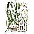 Chiendent BIO - plante en vrac - herboristerie du Dr. SAMMUT