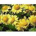 Chrysanthellum BIO - plante en vrac - herboristerie du Dr. SAMMUT