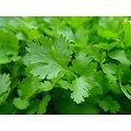 Coriandre BIO - plante en vrac - herboristerie du Dr. SAMMUT