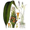 Curcuma BIO - plante en vrac - herboristerie du Dr. SAMMUT