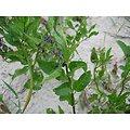 Douce amère - plante en vrac - herboristerie du Dr. SAMMUT
