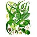 Eucalyptus feuille coupée BIO - plante en vrac - herboristerie du Dr. SAMMUT