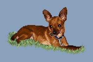 Chihuahua abricot diagramme couleur